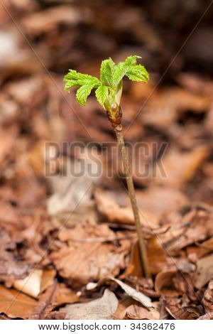 Young offspring of a horse chestnut