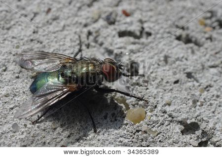 Bluebottle Fly