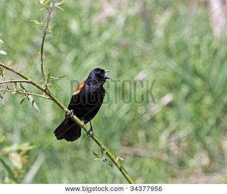 Speaking Red-winged Blackbird