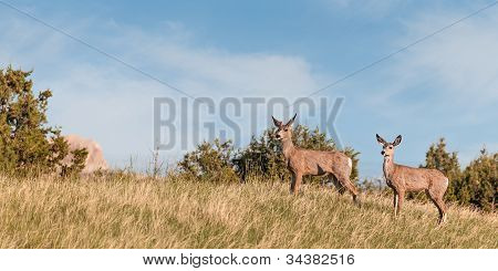 Mule Deer (Odocoileus hemionus) Buck And Doe