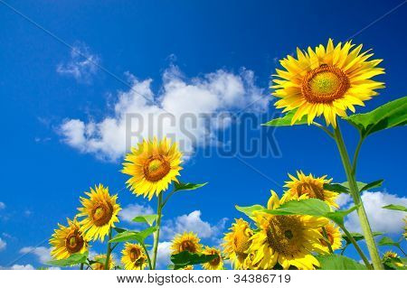 Fun Sunflowers Growth Against Blue Sky.