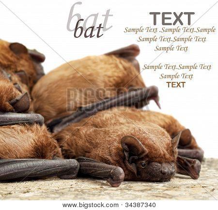 Bat Colony.pipistrellus