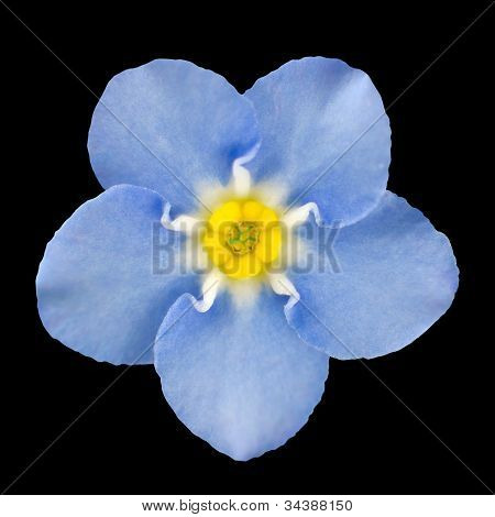 Forget-me-not Light Blue Flower Isolated On Black