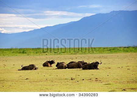 Cape Race Buffalo