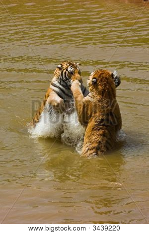 Water Tiger Action