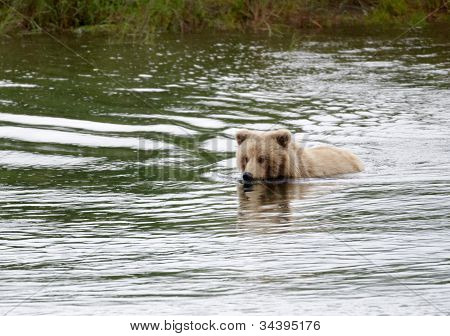 Young Alaskan Brown Bear