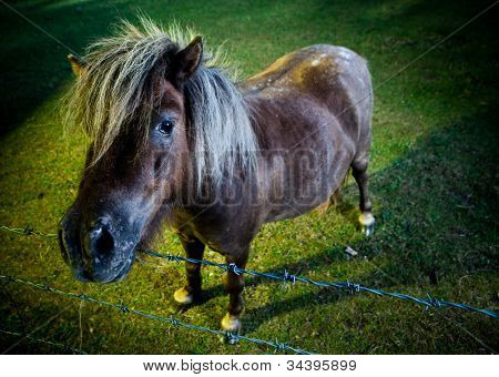 Inquisitve horse or pony with a long forelock standing looking over a strand of barbed wire in the evening