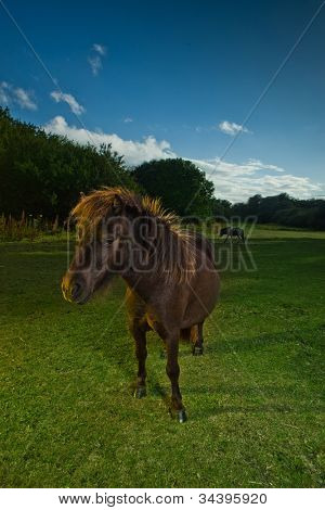 Brown horse or pony standing in its lush green paddock illuminated by evening light