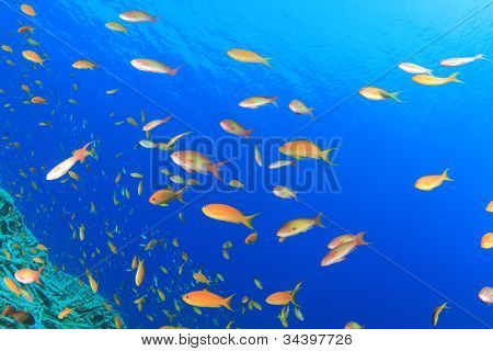 Tropical fish on Coral Reef: Lyretail Anthias in the Red Sea