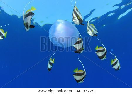 Tropical Fish: Schooling Bannerfish eating a Jellyfish