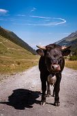 Portrait Of Black Herens Calf With Traditional Swiss Bell Standing Up Looking Straight Into The Came poster