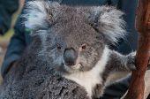 Close Up Of Cute Koala Bear Animal On A Eucalyptus Tree. Australian Native Wildlife Endangered Speci poster