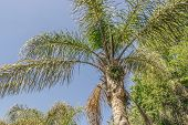 Palms, Palm Plants, Tree, Crown Of A Palm Tree In Dry Cape Town In South Africa With Blue Sky. poster