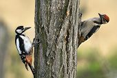 stock photo of pecker  - Two young woodpecker together climbing on the wood - JPG