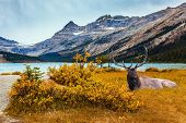 The Majestic Rockies of Canada. Beautiful deer with branching horns resting on the shore. The Lake B poster