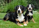 stock photo of greater  - Greater Swiss Mountain Dog adult and puppy - JPG