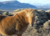 The Icelandic Horse Is A Breed Of Horse Developed In Iceland. Although The Horses Are Small, At Time poster