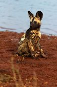 The African Wild Dog (lycaon Pictus), Also African Hunting Or African Painted Dog, Painted Hunting O poster