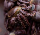 Crabs With Reddish Shell And Front Legs Finished In Tweezers. Food Of Marine Origin. Approach To Edi poster