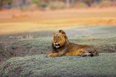 The Southern Lion (panthera Leo Melanochaita) Also As The East-southern African Lion Or Eastern-sout poster