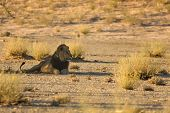 The Huge Lions Male (panthera Leo) Lying In The Shade Of Kalahari Desert. One Green Tree On Dry Dese poster