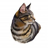 California Spangled Cat Isolated On White. Digital Art Illustration Of Hand Drawn Kitty For Web. Act poster