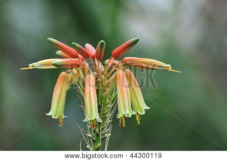 Aloe Cooperi Flower