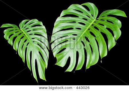 Large Tropical Leaves