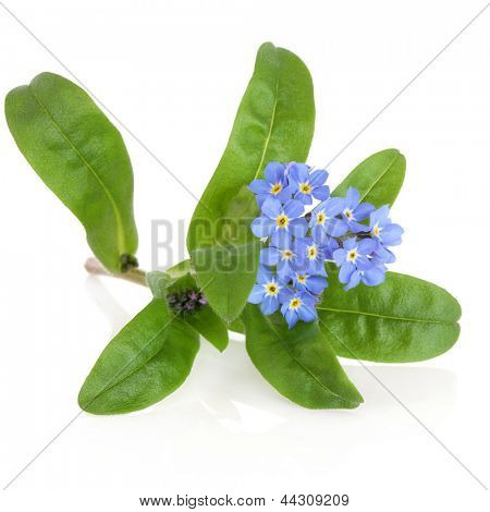 Forget me not flower over white background. Myosotis sylvatica.