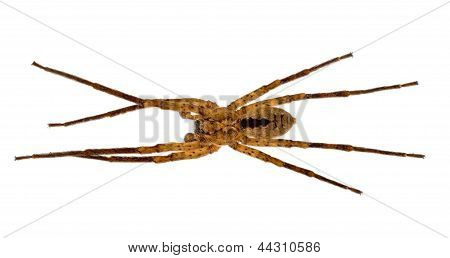 Zoropsis Spinimana - Large Hunting Spider, Isolated Over White
