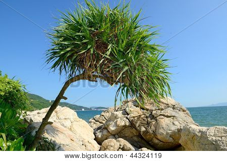 tree is called Pandanus tectorius