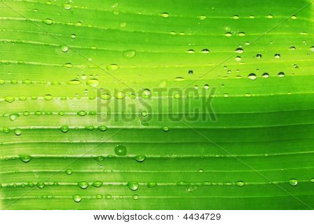 Banana Leaf With Drops