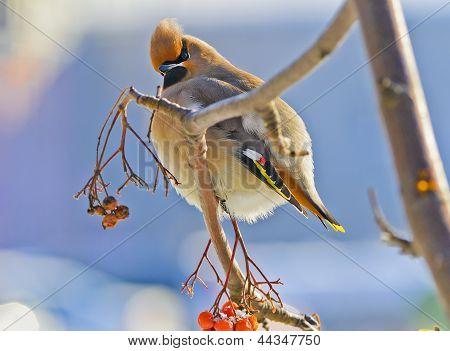 Bright bird Waxwing on a Rowan branch. Winter.