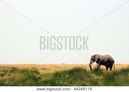 Elephant on Savannah