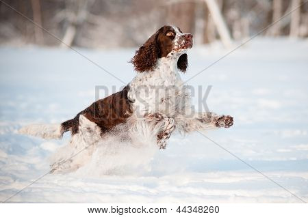 springer spaniel dog jumps in the snow
