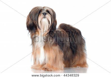 lhasa apso dog isolated