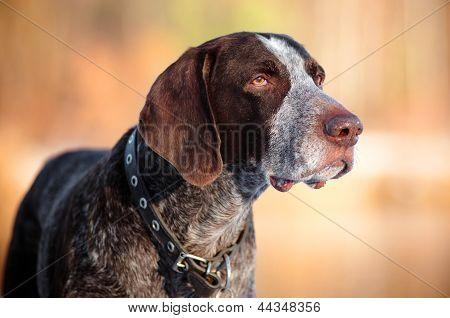 kurzhaar dog portrait