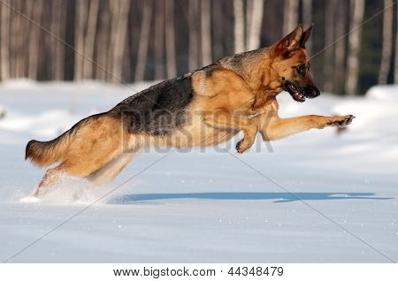 german shepherd dog jumps in the snow