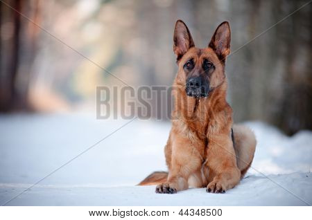 german shepherd dog lying down portrait