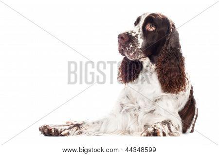 Springer Spaniel Hund