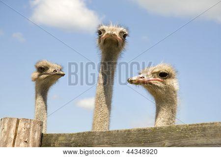 Três avestruzes