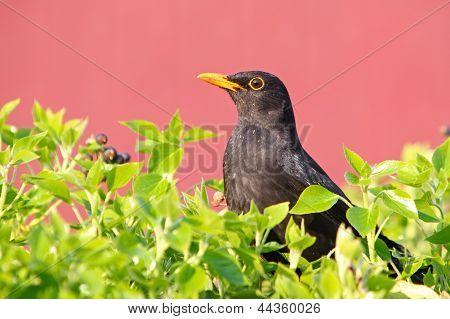 Eurasian Blackbird - Female Turdus Merula