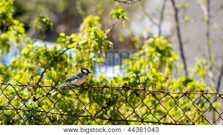 Tomtit On A Fence