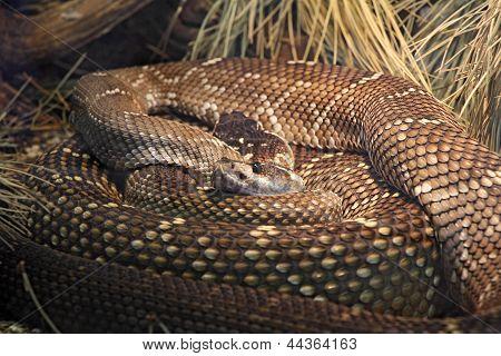 Black Tailed Rattlesnake