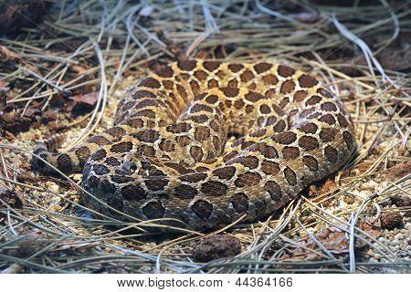 Headed Rattlesnake