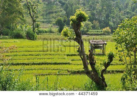 Rice fields in Sri Lanka