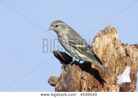 Pine Siskin On Tree Limb