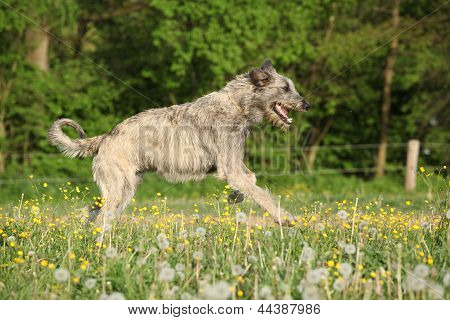 Irish Wolfhound Running In Flowers