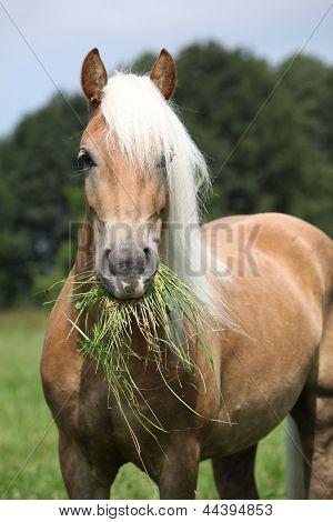 Portrait Of Nice Haflinger Eating Grass