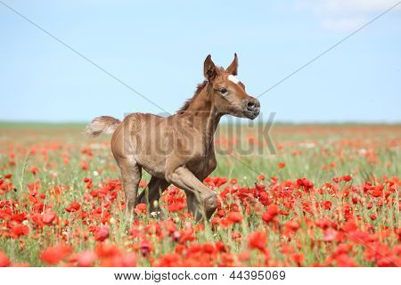 Araber Fohlen laufen In Rot Poppy Field